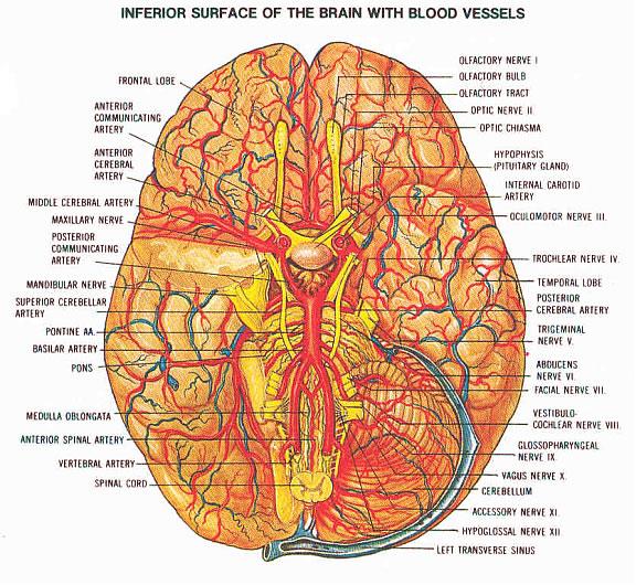 Наглядное подтверждение интенсивности кровоснабжения мозга