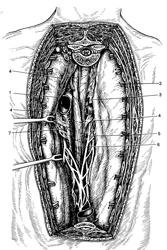 Хирургическая анатомия средостения