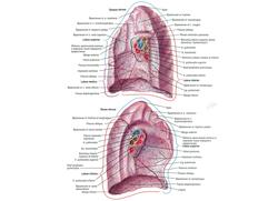 Хирургическая анатомия легких