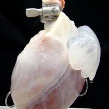 Ученым из США и Нидерландов удалось создать полноценную сердечную мышцу